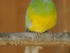 Adopcia papagája -3.A, 2.A, 1.A